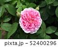 ピンクのバラ 52400296