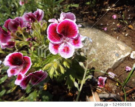 ベルタコ ニュームの白い縁取りの赤い花 52400505