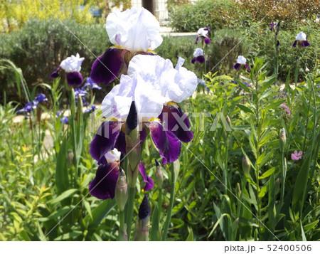 ジャーマンアイリスの白と青色の大きい花 52400506