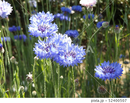 ヤグルマギクの青い花 52400507