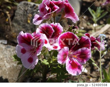 ベルタコ ニュームの白い縁取りの赤い花 52400508
