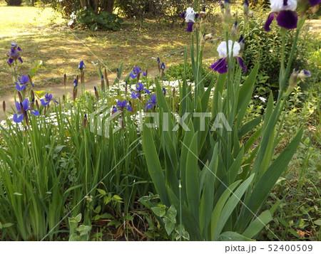 ジャーマンアイリスとアヤメの青い花 52400509