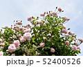 淡いピンクのバラ 52400526