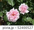 淡いピンクのバラ 52400527