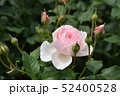 淡いピンクのバラ 52400528