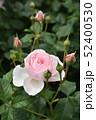 淡いピンクのバラ 52400530