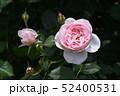 淡いピンクのバラ 52400531