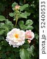 淡いピンクのバラ 52400533