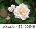 淡いピンク色のバラ 52400649