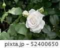 真っ白いバラ 52400650