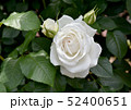 真っ白なバラ 52400651