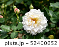 淡いピンクのバラ 52400652