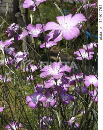 ムギナデシコの桃色の縁取りの白い花 52404765