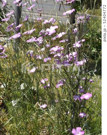 ムギナデシコの桃色の縁取りの白い花 52404772