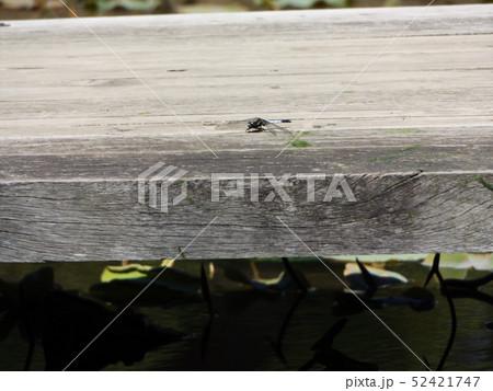 綿内池の橋でで一休みのシオカラトンボ 52421747