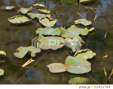 芽を出した千葉公園綿内池の大賀蓮の若葉 52421764