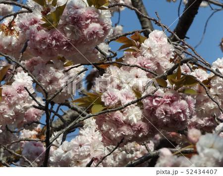 八重の桜は遅咲きのサクラ 52434407