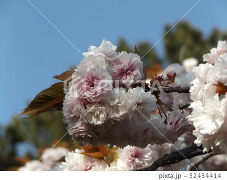 八重の桜は遅咲きのサクラ 52434414