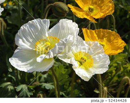 大きい花はアイスランドポピーの白と黄色の花 52434426