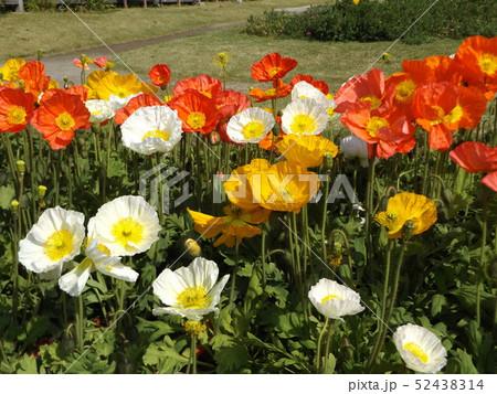 大きい花はアイスランドポピーの白と黄色と赤色の花 52438314