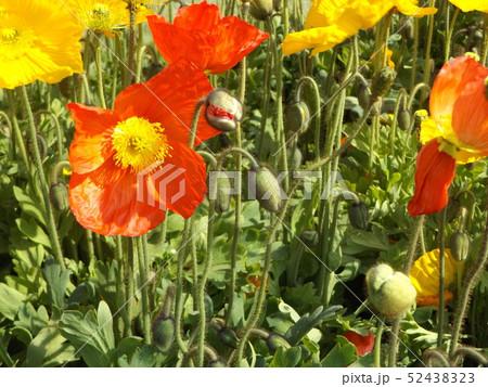 大きい花はアイスランドポピーの赤と黄色の花 52438323