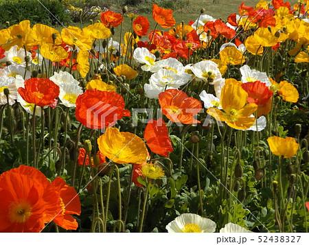 大きい花はアイスランドポピーの白と黄色とオレンジ色の花 52438327