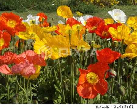 大きい花はアイスランドポピーの白と黄色とオレンジ色の花 52438331