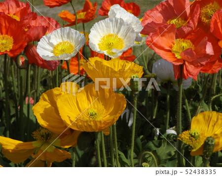 大きい花はアイスランドポピーの白と黄色とオレンジ色の花 52438335