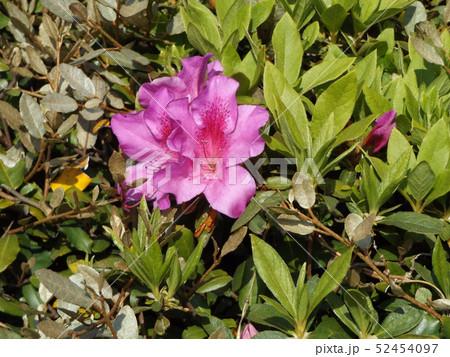 四月に咲くのはツツジの桃色の花 52454097