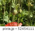 大きい花のアイスランドポピーの実 52454111
