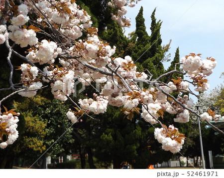 八重の桜は遅咲きのサクラ 52461971