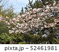 八重の桜は遅咲きのサクラ 52461981