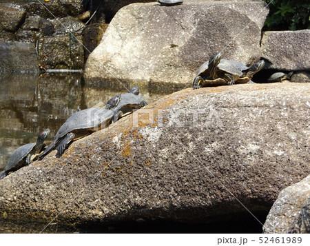 稲毛海浜公園の池に亀さん沢山 52461989