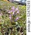 春の初めに咲き始める紫の小さい花はホトケノザ 52470293