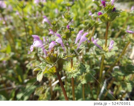 春の初めに咲き始める紫の小さい花はホトケノザ 52470301