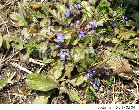 地獄の釜の蓋と呼ばれる紫の花を咲かすキランソウ 52470304