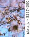 桜(エゾヤマザクラ) 52574390