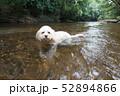 水辺で遊ぶカブードル 52894866