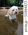 水辺で遊ぶカブードル 52894872