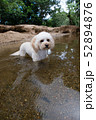 水辺で遊ぶカブードル 52894876
