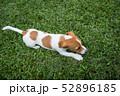 ジャックラッセルの子犬 52896185