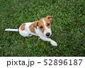 ジャックラッセルの子犬 52896187
