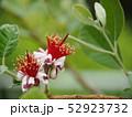 フェイジョアの花 52923732