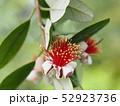 フェイジョアの花 52923736