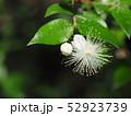 ギンバイカの花 52923739