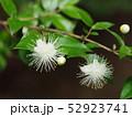 ギンバイカの花 52923741