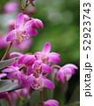 ギンギアナムの花 52923743