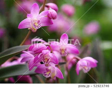 ギンギアナムの花 52923746