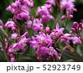 ギンギアナムの花 52923749