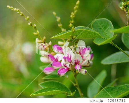 キハギの花 52923751